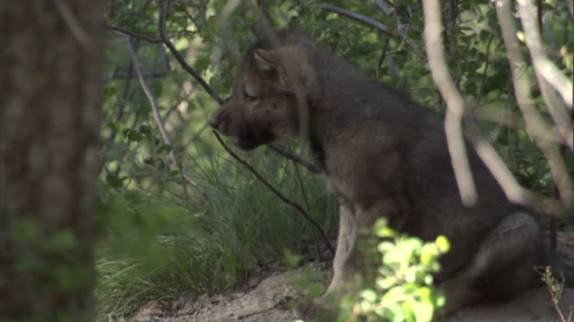 Grey wolf (Canis lupus) pup plays outside den, Yellowstone, USA