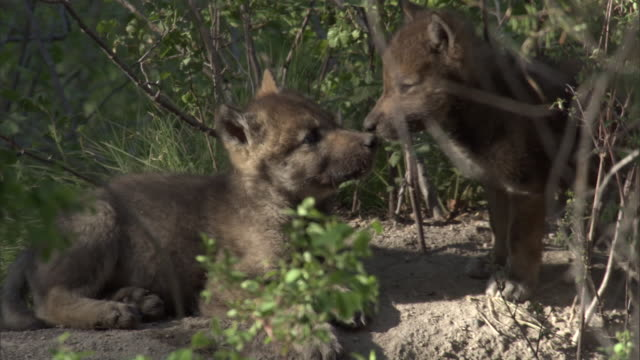 grey wolf (canis lupus) pups outside den, yellowstone, usa - parco nazionale di yellowstone video stock e b–roll