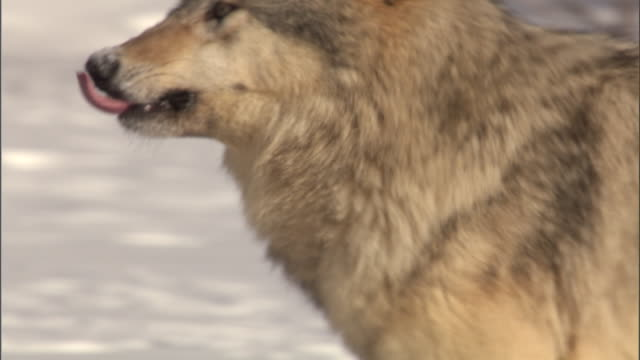 vídeos y material grabado en eventos de stock de grey wolf (canis lupus) runs in snowy forest, yellowstone, usa - parque nacional de yellowstone