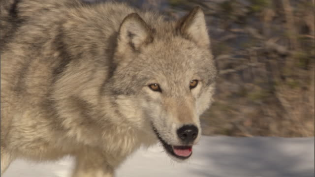 Grey wolf (Canis lupus) runs in snowy forest, Yellowstone, USA