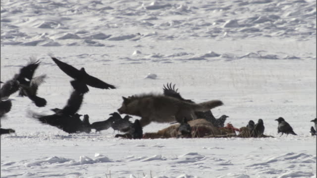 grey wolf (canis lupus) scares ravens (corax corax) off elk carcass in snow, yellowstone, wyoming, usa - 2009 stock videos & royalty-free footage