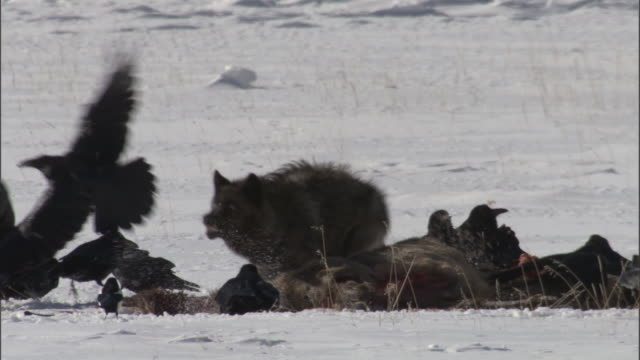 grey wolf (canis lupus) scares ravens (corax corax) off elk carcass in snow, yellowstone, wyoming, usa - raven stock videos & royalty-free footage