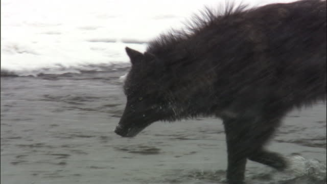 grey wolf (canis lupus) scavenges on elk carcass in river, yellowstone, usa - 2009 stock videos & royalty-free footage
