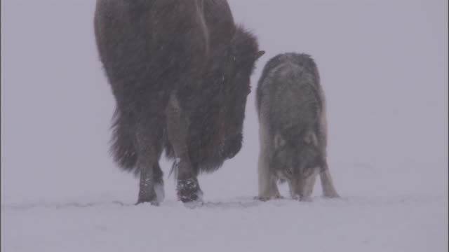 grey wolf (canis lupus) shadows bison (bison bison) in snow, yellowstone, usa - american bison stock videos & royalty-free footage