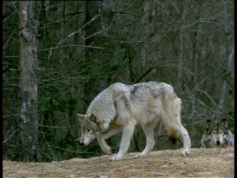 grey wolf stalking, taking gradual steps, halifax, nova scotia. - bbc stock videos and b-roll footage