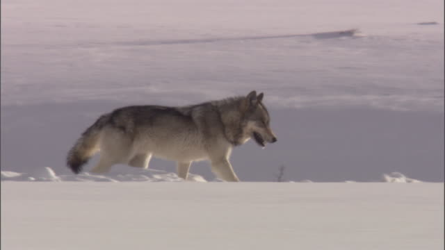 Grey wolf (Canis lupus) trots on snowy ridge, Yellowstone, USA