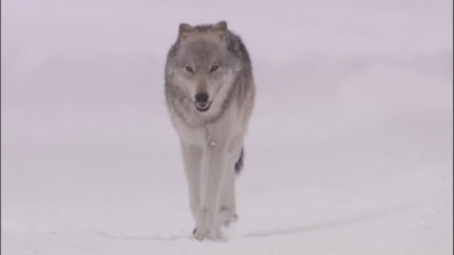 Grey wolf (Canis lupus) trots over snow, Yellowstone, USA