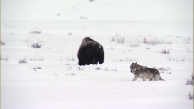 Grey wolf (Canis lupus) trudges past bison in snow, Yellowstone, USA