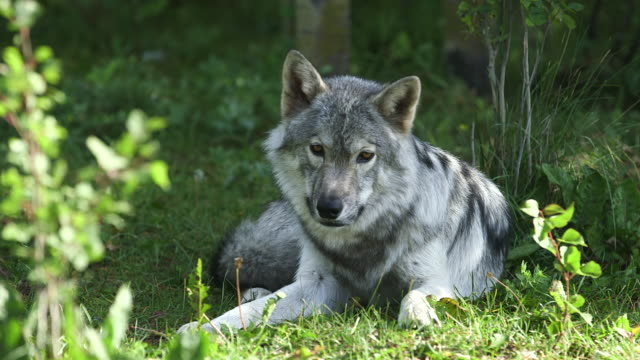 grey wolfdog laying down. - wiese stock videos & royalty-free footage
