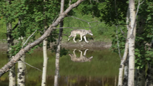 grey wolfdog trots by pond. - wiese stock videos & royalty-free footage