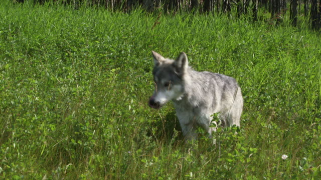 stockvideo's en b-roll-footage met grey wolfdog trots through tall grass. - wiese