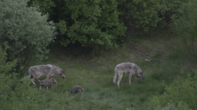 Grey wolves (Canis lupus) and cubs in forest clearing, Yellowstone, USA