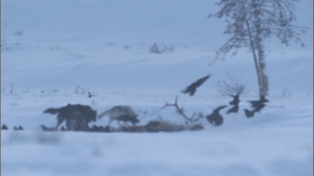 grey wolves (canis lupus) and ravens feed on elk carcass in snow, yellowstone, usa - 2009 stock videos & royalty-free footage
