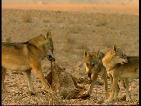 vídeos y material grabado en eventos de stock de grey wolves, canis lupus,  feeding, eating a lamb carcass, ms, negev desert, israel - hurgar en la basura
