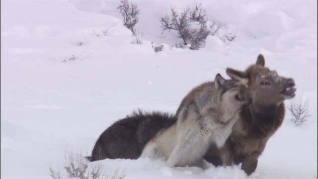 Grey wolves (Canis lupus) catch elk (Cervus canadensis), Yellowstone, USA