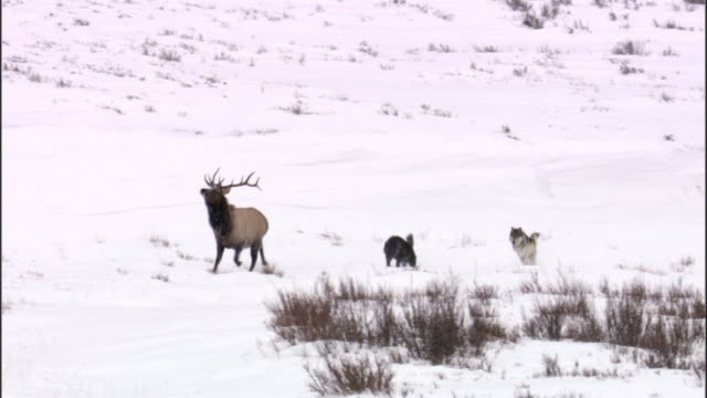 stockvideo's en b-roll-footage met grey wolves (canis lupus) chase elk (cervus canadensis) into river, yellowstone, usa - yellowstone national park