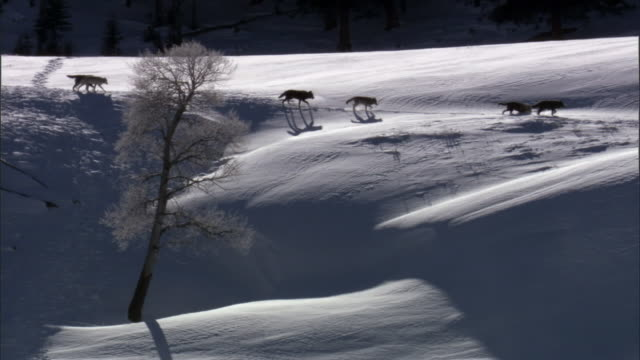 grey wolves (canis lupus) cross snowy ridge, yellowstone, usa - yellowstone nationalpark stock-videos und b-roll-filmmaterial