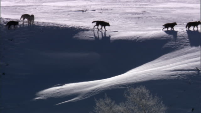 Grey wolves (Canis lupus) cross snowy ridge, Yellowstone, USA