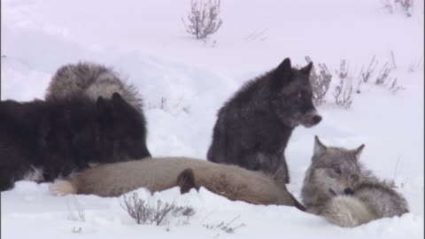 grey wolves (canis lupus) feed on elk (cervus canadensis), yellowstone, usa - yellowstone national park stock videos & royalty-free footage