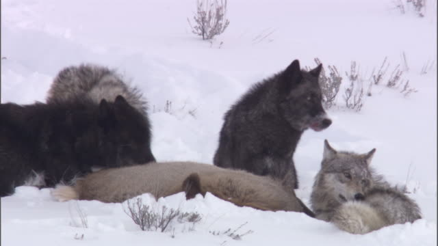 grey wolves (canis lupus) feed on elk (cervus canadensis), yellowstone, usa - 2009 stock videos & royalty-free footage