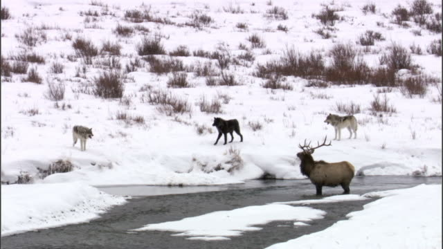grey wolves (canis lupus) hunt elk (cervus canadensis) in river, yellowstone, usa - yellowstone nationalpark stock-videos und b-roll-filmmaterial