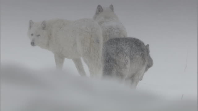 Grey wolves (Canis lupus) in snow, Yellowstone, USA