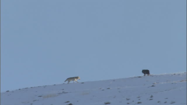 Grey wolves (Canis lupus) on snowy hillside, Yellowstone, USA