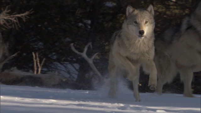 Grey wolves (Canis lupus) run in snowy forest, Yellowstone, USA