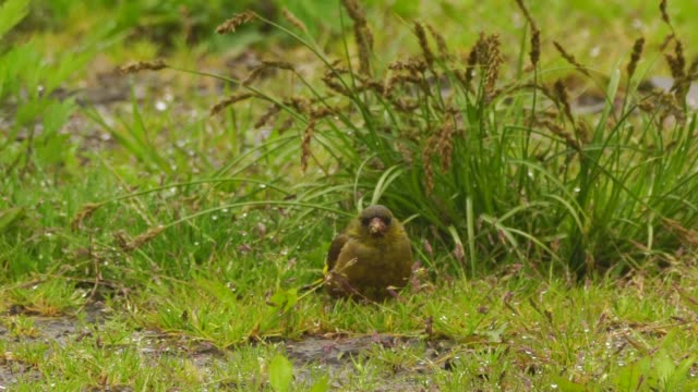 grey-capped greenfinch (chloris sinica) in kuril islands - bird's nest stock videos and b-roll footage