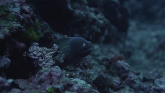 vídeos de stock e filmes b-roll de greyface moray eel hides in reef - moreia enguia de água salgada