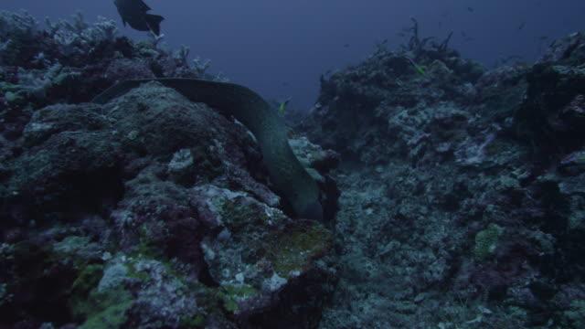greyface moray eel swings along reef - ウツボ点の映像素材/bロール