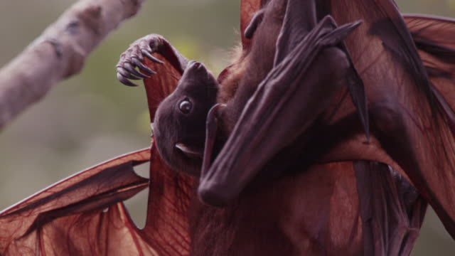grey-headed flying fox and baby in roost - wildlife stock videos & royalty-free footage