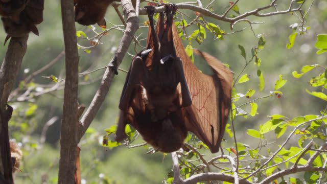 grey-headed flying fox grooms juvenile - small group of animals stock videos & royalty-free footage