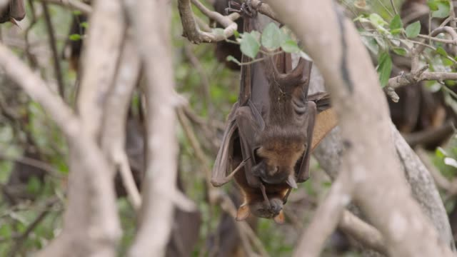 Grey-headed flying fox with baby in roost, Australia