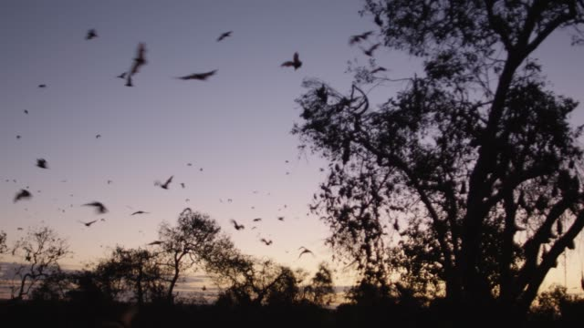 vídeos de stock e filmes b-roll de grey-headed flying foxes leave roost at sunset, australia - colony