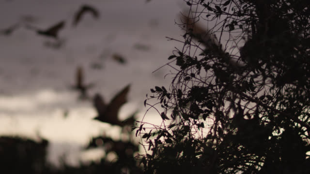 grey-headed flying foxes leave roost - focus on foreground stock videos & royalty-free footage