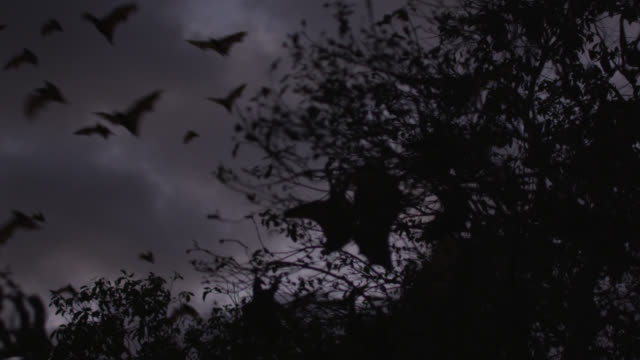 stockvideo's en b-roll-footage met grey-headed flying foxes leave roost - colony