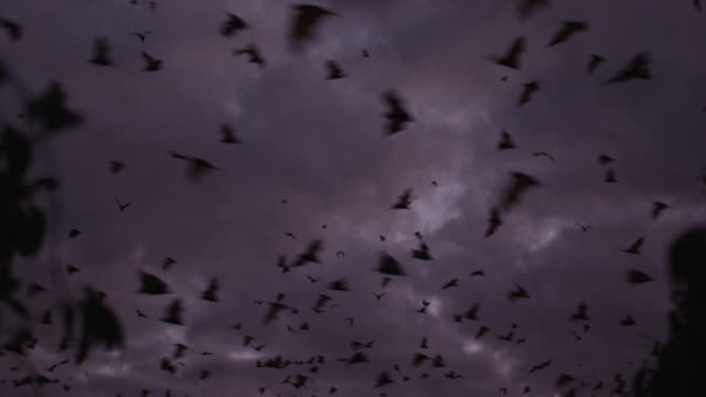 grey-headed flying foxes leave roost - colony stock videos & royalty-free footage