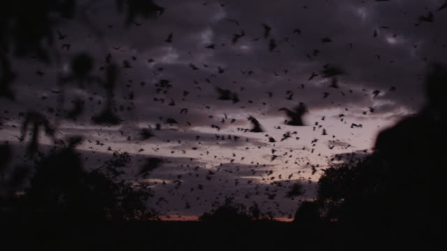 vídeos de stock e filmes b-roll de grey-headed flying foxes leave roost - colony