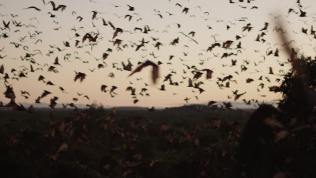 vídeos de stock, filmes e b-roll de grey-headed flying foxes leave roost - grupo grande de animais