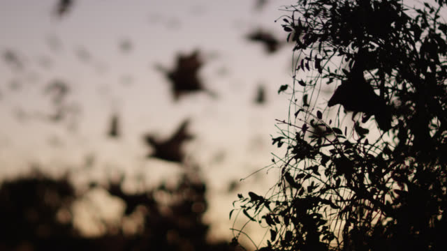 grey-headed flying foxes leave roost - animal behaviour stock videos & royalty-free footage