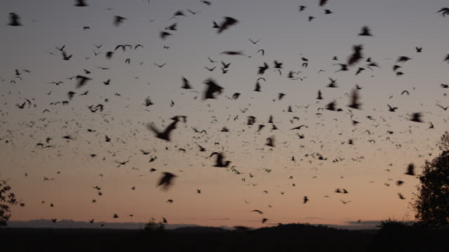 vídeos y material grabado en eventos de stock de grey-headed flying foxes leave roost - colony