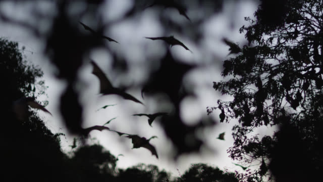 grey-headed flying foxes leave roost - tierkolonie stock-videos und b-roll-filmmaterial