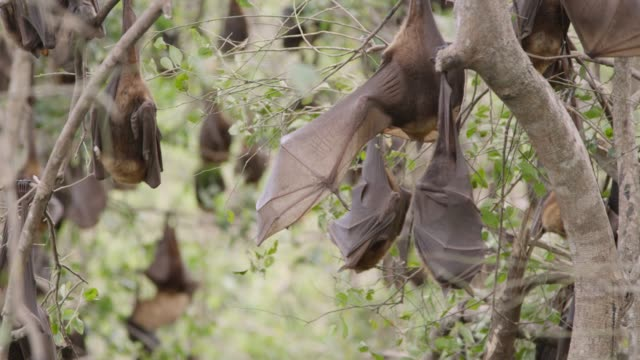 vídeos de stock e filmes b-roll de grey-headed flying foxes rest and groom, australia - colony