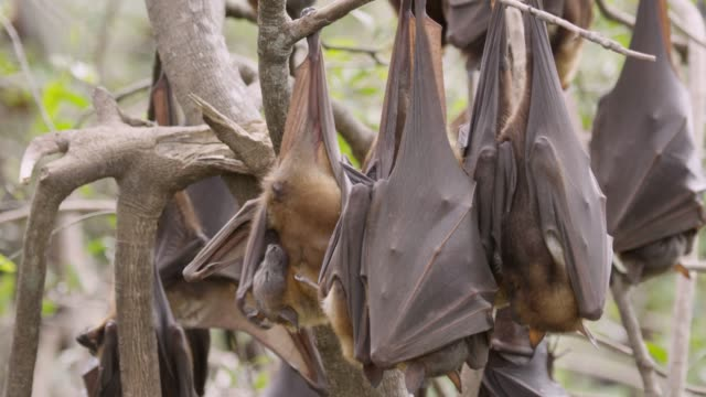 Grey-headed flying foxes rest and groom, Australia