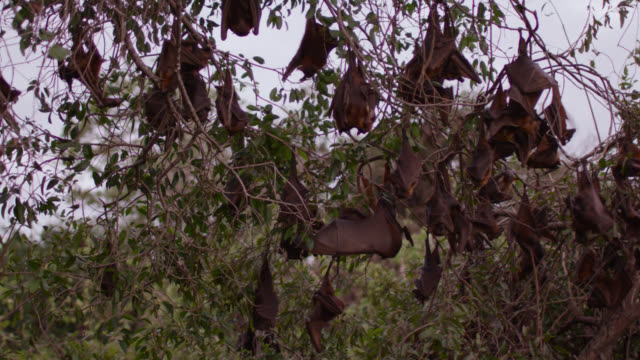 vídeos de stock e filmes b-roll de grey-headed flying foxes rest in roost - colony