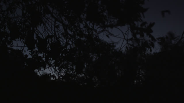 vídeos de stock e filmes b-roll de grey-headed flying foxes return to roost - colony