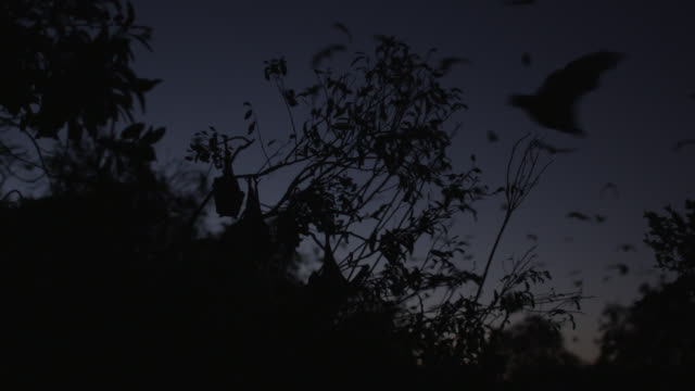 grey-headed flying foxes return to roost - tierkolonie stock-videos und b-roll-filmmaterial
