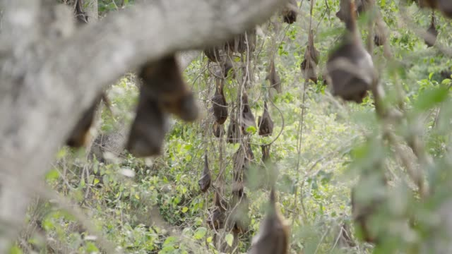 vídeos de stock e filmes b-roll de grey-headed flying foxes sleep in roost, australia - colony