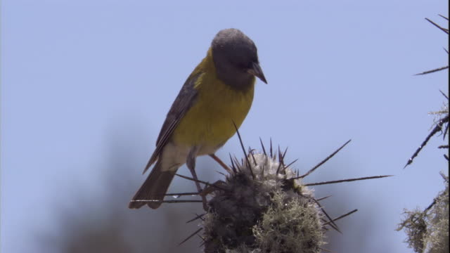 a grey-hooded sierra finch drinks dew from cactus in the atacama desert, chile. available in hd. - cactus stock videos & royalty-free footage